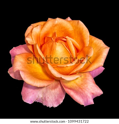 Bright colored fine art still life floral macro flower image of a single isolated orange red flowering blooming rose blossom on black background with detailed texture