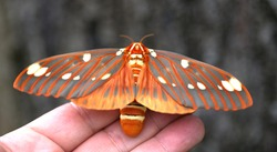 Bright colored giant silk moth - Regal Moth, Citheronia regalis, one of the largest butterflies or moths (Lepidoptera) of North America with wings wide open, resting on my hand before flying away