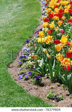 Bright colored red and yellow tulips in a flower garden bordering a green lawn. Copy space on the bottom and left.