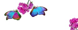 bright colorful morpho butterflies on pink tropical orchids. butterfly on flowers