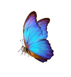 bright colorful morpho butterfly isolated on white