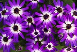 Bright colorful Senetti bi-color purple and white daisy like flowers in bloom.