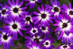 Bright colorful Senetti bi-color purple and white daisy like flowers in bloom.