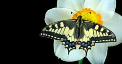 Bright colorful swallowtail butterfly on daffodil flower isolated on black. butterflies and spring flowers. daffodil flower and butterfly. copy spaces