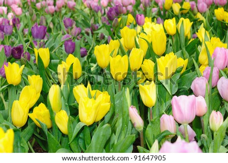 Bright colorful Tulip blossoms in spring