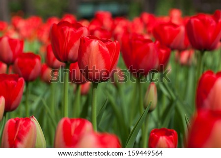 Bright colorful tulips.