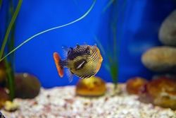 Bright coloured tropical fish Ornate cowfish (aracana ornata) (male) swimming in chrystal clear water in aquarium.