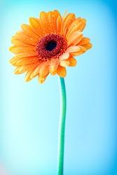 Bright colourful orange Gerbera daisy with water droplets from dew or rain covering the petals against a clear blue sky