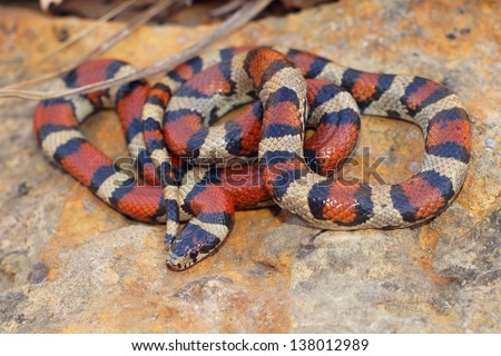 Bright Coral Snake colors - Lampropeltis triangulum syspila