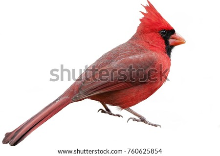 Bright Crimson Northern Cardinal Isolated on White Background