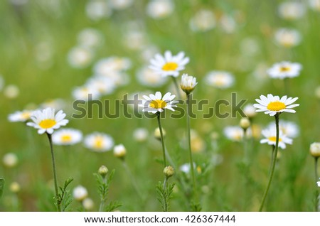 Bright daisies summer photo small white flowers macro photography bright daisies summer photo small white flowers macro photography glade with wild mightylinksfo