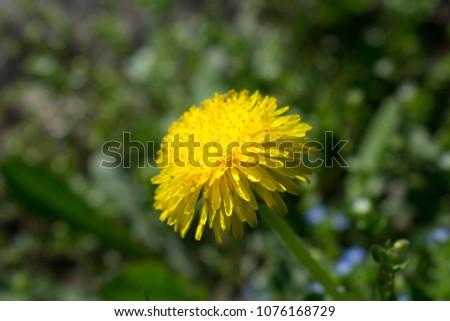 bright dandelion in the spring #1076168729