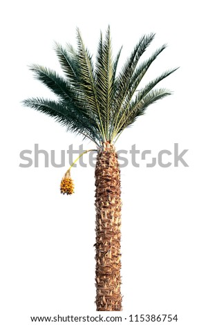 Bright date-palm tree isolated on white background