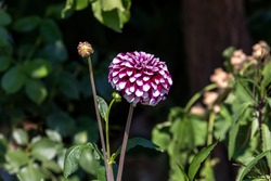 Bright, decorative, tender dahlia with pattern grows close-up on a flower bed in the garden on an summer sunny day