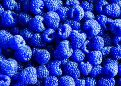 bright delicious natural background of many ripe unusual blue fragrant raspberry berries