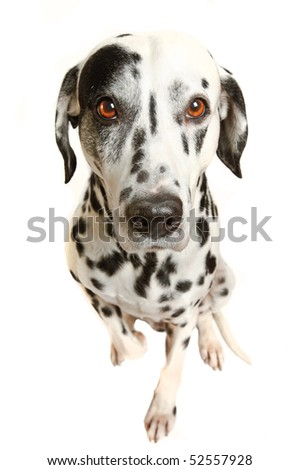 stock-photo-bright-eyes-dalmatian-charlie-thomson-52557928.jpg