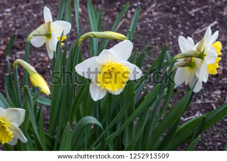 Bright flowers of narcissus tazetta with white petals and yellow center, early spring bloomer, also known as daffodil