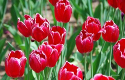 bright flowers tulips grow in the steppe