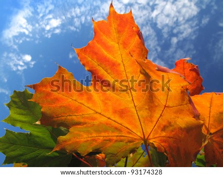 bright foliage of autumn maple tree on blue sky background