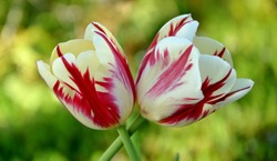 Bright fresh two colorful red with white tulips intertwined in the garden close-up.