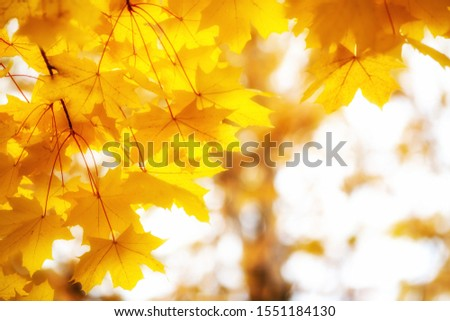 bright gold yellow autumnal maple leaves with copy's space stock photo