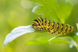 bright green and yellow caterpillar crawling on green leaf