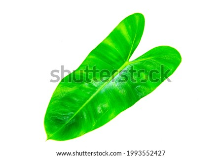 bright green bonsai leaves on a white background