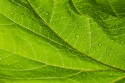 Bright green grape leaf texture covered with dew, detailed leaf structure, green background