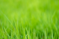 Bright green grass in the close up with copy space.