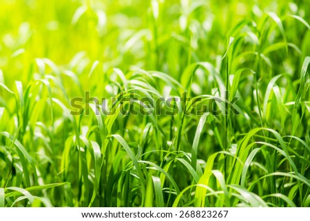 Bright green grass on spring field in sunny day. Sunshine in summer grass. Texture background