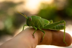 Bright green grasshopper on a finger
