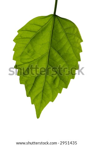 bright green leaf on white