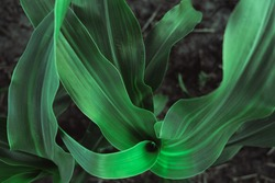 bright green leaves of corn create a pattern. lines diverge from the center of the plant. leaf texture.