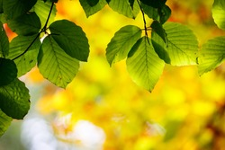 Bright green leaves on the branches in the autumn forest.
