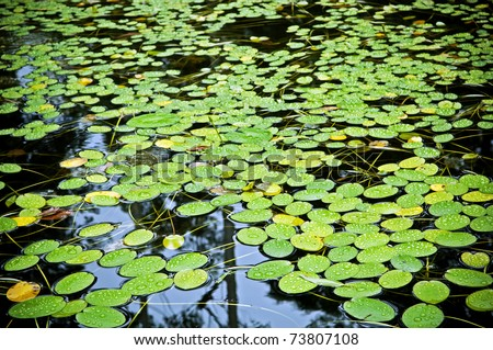 Bright green lilly pad's cover the surface of a pond