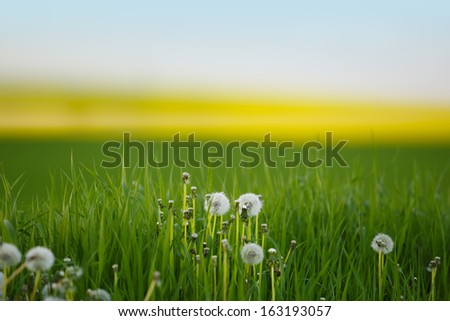 Bright green Meadow with Dandelion Blowballs in Summer