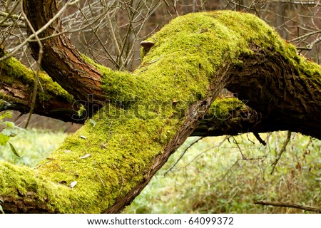 Bright Green Moss (bryophytes) on tree trunks