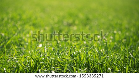 Bright green natural grass in the sunlight. The background is blurry. Screensaver texture, basis for design