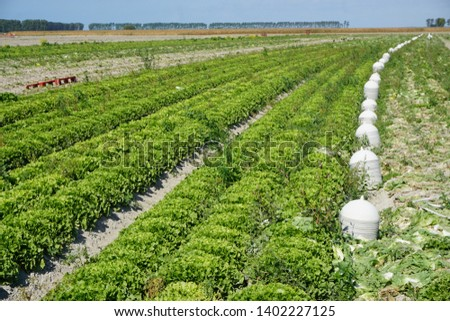 bright green rows of lettuce growing in a country field next to plastic covers for protection #1402227125