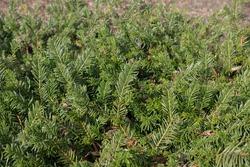 Bright Green Spring Foliage of an Evergreen Spreading Prostrate Japanese Plum Yew Shrub (Cephalotaxus harringtonia 'Prostrata') Growing in a Woodland Garden in Rural Devon, England, UK
