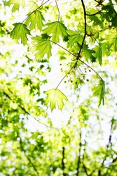 bright green spring foliage on maple, background