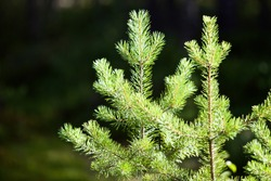 Bright green young spruce trees in sunny day. Young green Needles on spruce branches close-up. Coniferous forest landscape. Evergreen pine trees close-up. Clean environment. Reforestation concept.