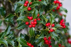 Bright holly berries on a bush