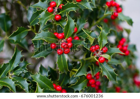Bright holly berries on a bush #676001236