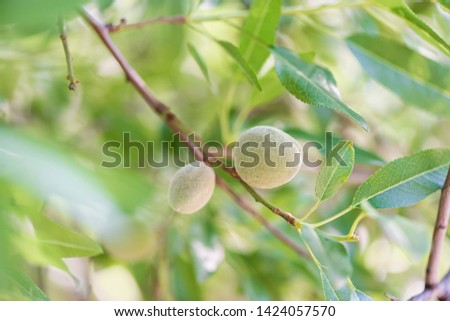Bright image of unripe green almonds on an almond tree branch.