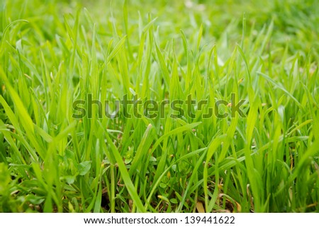 Bright juicy green grass close-up