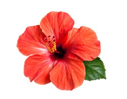 bright large flower and leaf of red hibiscus isolated on white background
