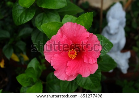 bright large flower of red hibiscus isolated on garden background,summer #651277498