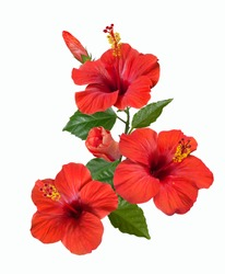 bright large flowers and buds of red hibiscus isolated
