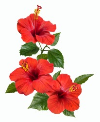 bright large flowers and buds of red hibiscus isolated on white background